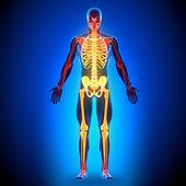 Skeleton - Anatomy Bones — Stock Photo