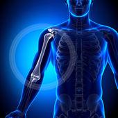 Humerus Arm Anatomy - Anatomy Bones — Stock Photo
