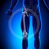 Fêmur - ossos anatomia — Foto Stock