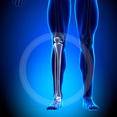 Tibia Fibula - Calf Anatomy - Anatomy Bones — Stock Photo