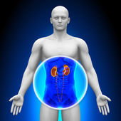 Medical X-Ray Scan - Kidneys — Stock Photo