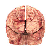 Anatomy Brain - Front View Isolated on White — Stock Photo