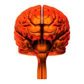 Brain - Internal organs - isolated on white — Stock Photo