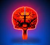 Brain - Internal organs - blue background — Stock Photo