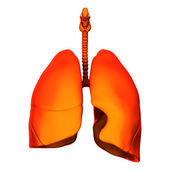 Lungs - Internal organs - isolated on white — Stock Photo