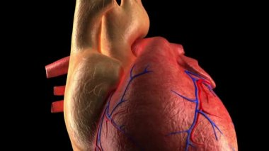 Anatomie hart - menselijke hartslag - close-up — Stockvideo