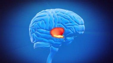 Brain part - THALAMUS — Stock video