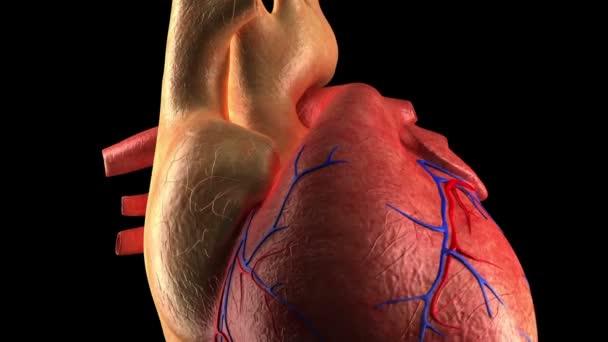 Anatomía del corazón - latido del corazón humano - close-up — Vídeo de stock