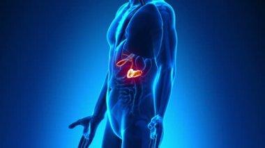 Male anatomy - Human Gallbladder scan — Stock Video