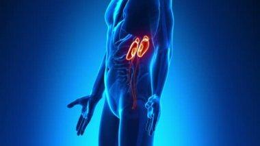 Male anatomy - Human Kidneys scan — Stock Video