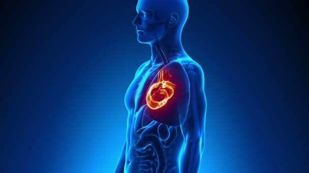 Anatomía masculina - exploración del corazón humano — Vídeo de stock