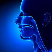 Sinuses - Clear - Head Anatomy — Stock Photo