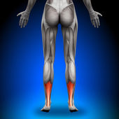 Achilles Tendon - Female Anatomy Muscles — Stock Photo