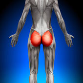 Glutes Gluteus Maximus - Female Anatomy Muscles — Stock Photo
