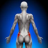 ягодицы medius - женской анатомии мышц — Стоковое фото