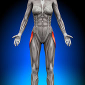 Tensor Fasciae Latea - Female Anatomy Muscles — Stock Photo