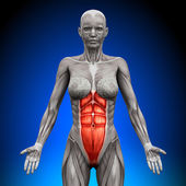 Abs - Female Anatomy Muscles — Stock Photo