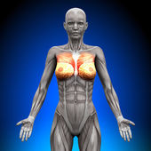 Breasts Chest Pectoralis Major Pectoralis Minor - Female Anatomy Muscles — Stock Photo