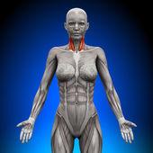 Neck - Female Anatomy Muscles — Stock Photo
