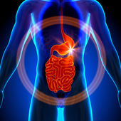 Stomach  Guts  Small Intestine - Male anatomy of human organs - x-ray view — Stock Photo