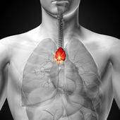 Thymus - Male anatomy of human organs - x-ray view — Stock Photo