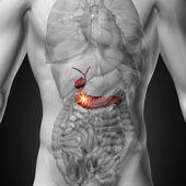 Gallbladder  Pancreas - Male anatomy of human organs - x-ray view — Stock Photo