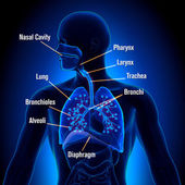 Respiratory System - detailed view — Stock Photo