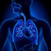 Lungs Anatomy - with detailed Alveoli — Stock Photo