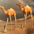 Walking camels — Stock Photo