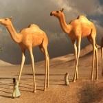 Walking camels — Stock Photo