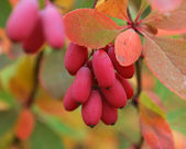 Berries of a barberry in the autumn — Stock Photo