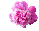 Sanftes rosa Pfingstrose — Stockfoto