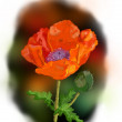 Scarlet poppy — Stock Photo #18582675