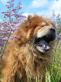 Yawning dog — Stock Photo