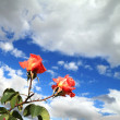 Stockfoto: Two scarlet roses
