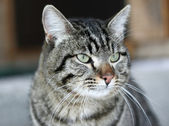 Grey striped cat — Stock Photo