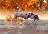 Two small pigs — Stock Photo