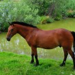 Bay horse on a watering place — Stock Photo #19155367