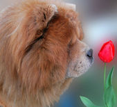Dog and red tulip — Stock Photo
