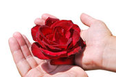 Red rose in female palms — Stock Photo