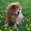 Dog on a glade with yellow dandelions — Stock Photo