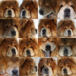 Set from portraits of a beautiful dog of breed of the chow-chow — Stock Photo