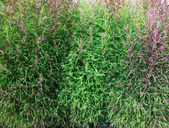 Kochia - flaring bush — Stock Photo