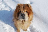 Red dog of breed of the chow-chow looks upwards — Stock Photo