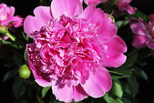 The pink peony es hermoso — Foto de Stock