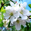 Branch of a blossoming apple-tree on a background of the blue sky — Stock Photo