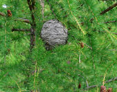 Beehive of wild bees on a larch — Stock Photo