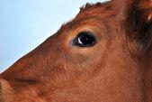 Head of the bull calf — Stock Photo
