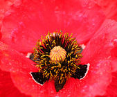 Natural blur background from red poppy — Stock Photo