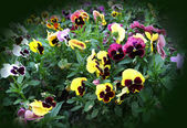Flower background from pansies — Stock Photo